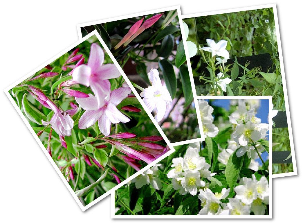 blickdichter und duftender sichtschutz mit duft-jasmin, Garten und Bauen
