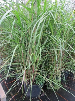 Miscanthus sinensis malepartus china schilf www for Japanisches schilf