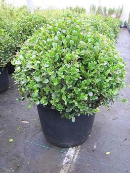 formschnittgeh lze von bonsais buchsbaum taxus und anderen formschnitten unserer baumschule. Black Bedroom Furniture Sets. Home Design Ideas