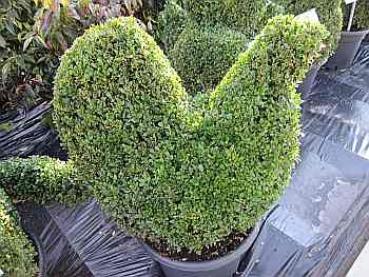 buxus sempervirens arborescens 39 figur huhn 39 formschnittgeh lz buchsbaum huhn diesen buxus in. Black Bedroom Furniture Sets. Home Design Ideas
