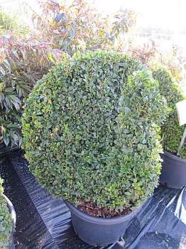 buxus sempervirens arborescens 39 figur pfau 39 formschnittgeh lz buchsbaum pfau diesen buxus in. Black Bedroom Furniture Sets. Home Design Ideas
