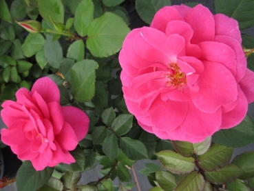 strauchrose rosa renaissance rose lea hellrot duft 50. Black Bedroom Furniture Sets. Home Design Ideas