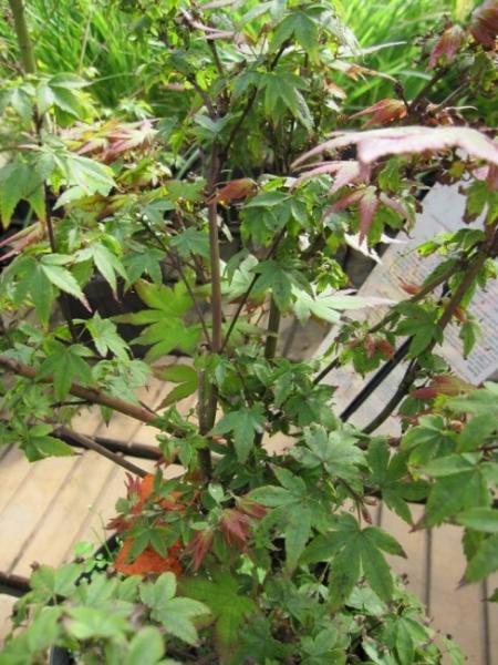 Acer palmatum little princess japanischer fächerahorn 40 60