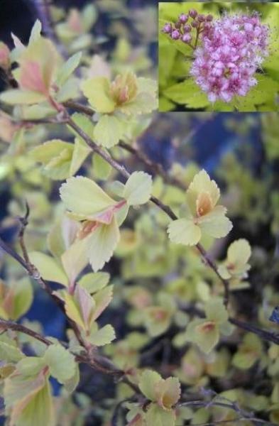 spiraea japonica golden princess gelbe zwergspiere. Black Bedroom Furniture Sets. Home Design Ideas