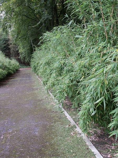 sichtschutz bambus jumbo bambus bambus fargesia murielae jumbo bambus ...