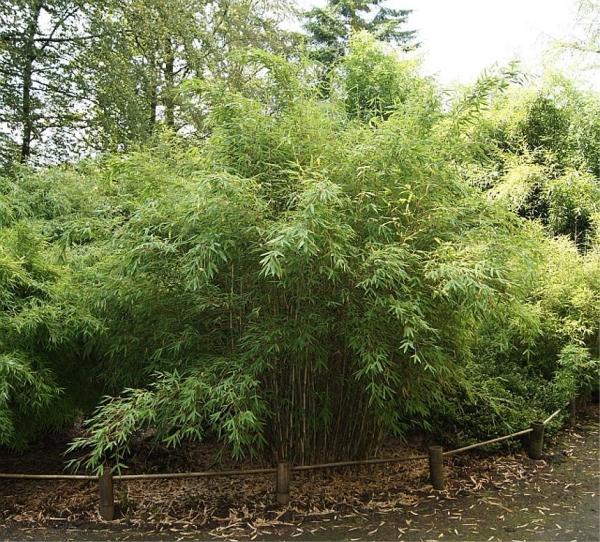 fargesia murielae standing stone robuster garten bambus 40 60 cm immergr ne bambuspflanze. Black Bedroom Furniture Sets. Home Design Ideas