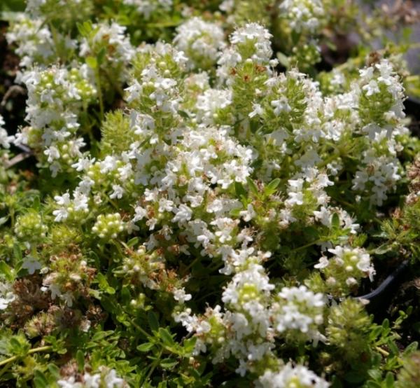 Thymus serpyllum Annabel  TeppichThymian  FeldThymian