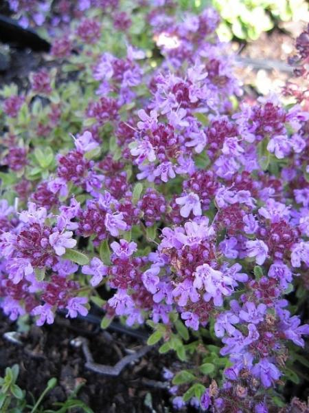 Thymus serpyllum Coccineus  TeppichThymian  Feld