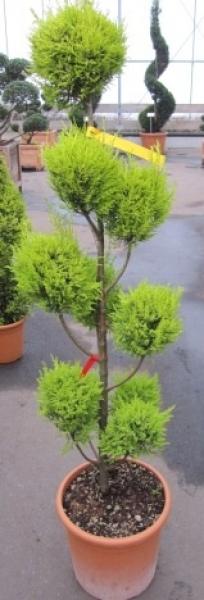 cupressus macrocarpa goldcrest pompon gelbe zimmerzypresse. Black Bedroom Furniture Sets. Home Design Ideas
