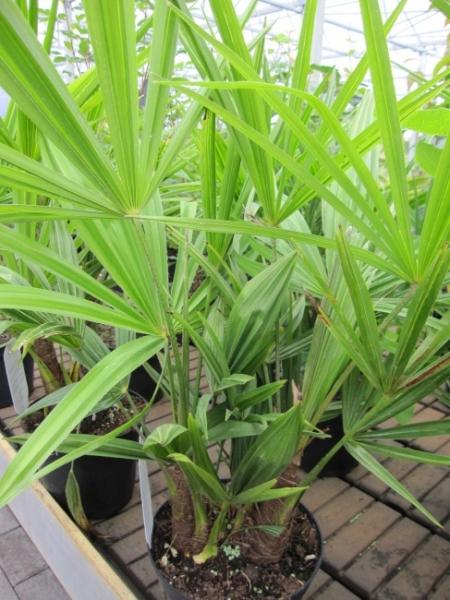 trachycarpus fortunei chinesische hanfpalme tessiner palme 40 60. Black Bedroom Furniture Sets. Home Design Ideas