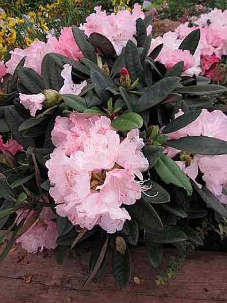 rhododendron yakushimanum graf anton g nter 25cm 30cm. Black Bedroom Furniture Sets. Home Design Ideas