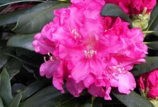 rhododendron yakushimanum helgoland 25cm 30cm www. Black Bedroom Furniture Sets. Home Design Ideas