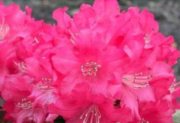 rhododendron yakushimanum leuchtfeuer 25cm 30cm www. Black Bedroom Furniture Sets. Home Design Ideas