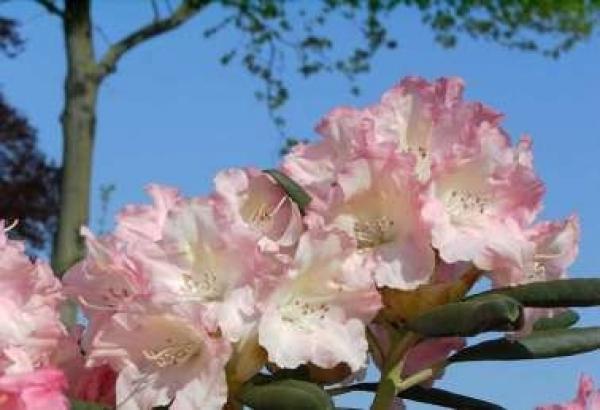 rhododendron yakushimanum loreley 25cm 30cm www. Black Bedroom Furniture Sets. Home Design Ideas