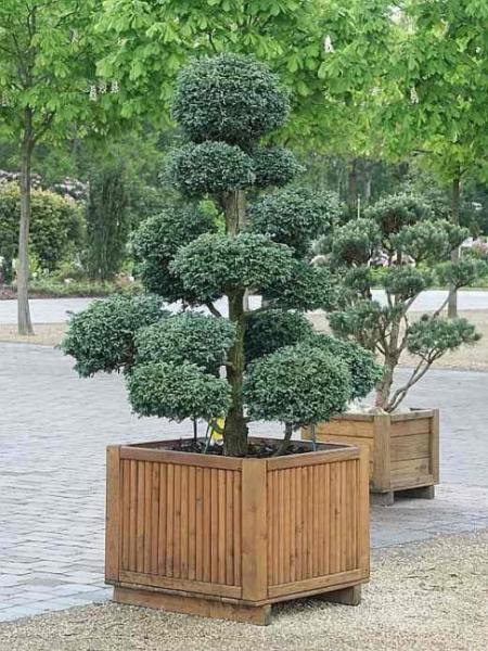chamaecyparis pisifera boulevard bonsai faden. Black Bedroom Furniture Sets. Home Design Ideas