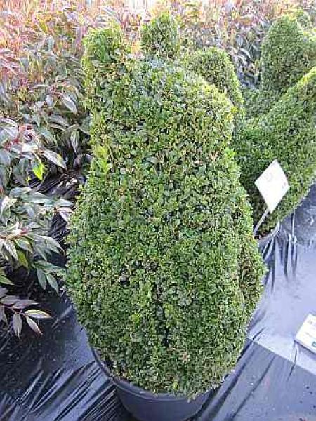 buxus sempervirens arborescens 39 figur katze. Black Bedroom Furniture Sets. Home Design Ideas