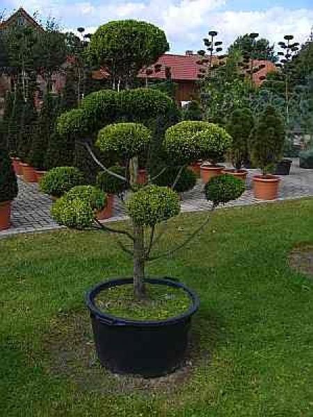chamaecyparis pisifera 39 plumosa aurea 39 formschnitt formschnittgeh lz sawara scheinzypresse. Black Bedroom Furniture Sets. Home Design Ideas