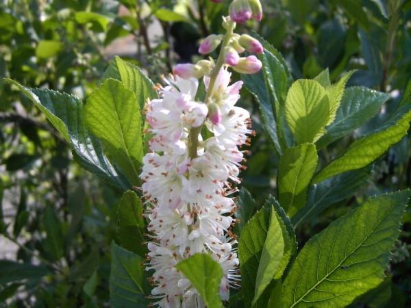 Clethra Alnifolia uk Clethra Alnifolia 'rosea'