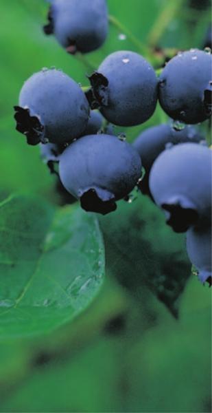 vaccinium corymbosum blue crop heidelbeere blaubeere moosbeer superfood anti aging. Black Bedroom Furniture Sets. Home Design Ideas