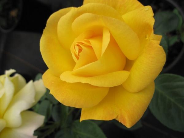 beetrose rosa arthur bell kr ftig gelb 30 50cm diese. Black Bedroom Furniture Sets. Home Design Ideas