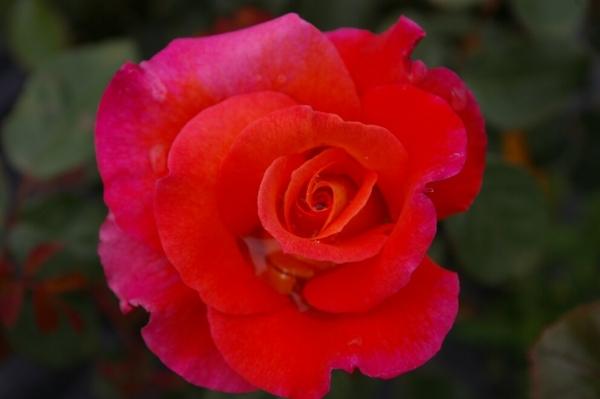 strauchrose rosa freisinger morgenr te gelborange duft 50cm diese strauchrose bestellen. Black Bedroom Furniture Sets. Home Design Ideas