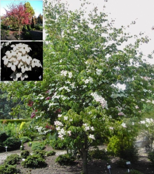cornus kousa chinensis wieting 39 s select chinesischer blumenhartriegel 40 60 cm diesen cornus. Black Bedroom Furniture Sets. Home Design Ideas