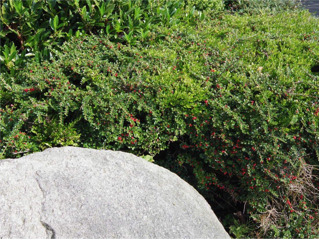 Cotoneaster  die Zwergmispel als meist immergrünes
