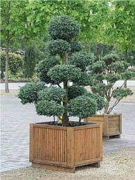 Formschnittgeh lze von bonsais buchsbaum taxus und - Buchsbaum formschnitt ...