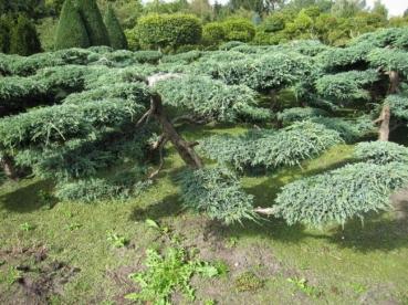 formschnittgeh lze von bonsais buchsbaum taxus und. Black Bedroom Furniture Sets. Home Design Ideas