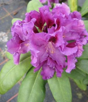 rhododendron hybriden g nstig online kaufen seite 3 www. Black Bedroom Furniture Sets. Home Design Ideas