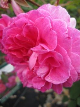 englische rosen online g nstig bestellen direkt aus der baumschule kaufen seite 2 www. Black Bedroom Furniture Sets. Home Design Ideas