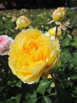 englische rosen bestellen englische rosen 39 the alnwick. Black Bedroom Furniture Sets. Home Design Ideas