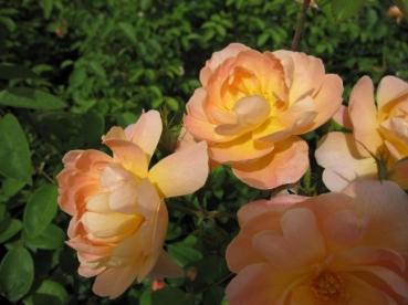 englische rosen online g nstig bestellen direkt aus der baumschule kaufen seite 5 www. Black Bedroom Furniture Sets. Home Design Ideas