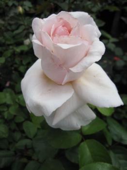 Rosa Aperitif® Edelrose Aperitif® Duft+ gelb Teehybride