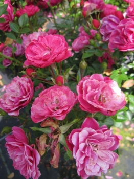 minirosen kleine und kompakte rosen f r k belbepflanzung. Black Bedroom Furniture Sets. Home Design Ideas