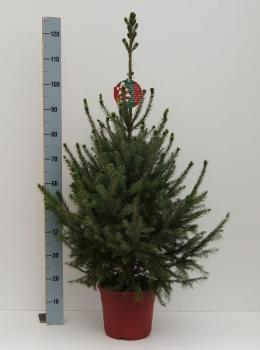 picea omorika serbische fichte omorikafichte als weihnachtsbaum mit wurzeln im. Black Bedroom Furniture Sets. Home Design Ideas