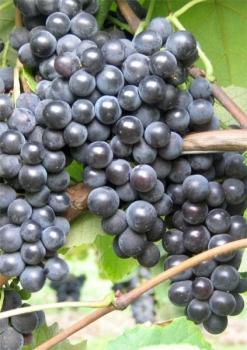 vitis vinifera weintrauben weinreben rebsorten einfach online kaufen. Black Bedroom Furniture Sets. Home Design Ideas