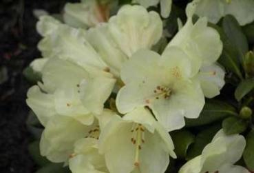 rhododendron yakushimanum hybriden g nstig online kaufen seite 4. Black Bedroom Furniture Sets. Home Design Ideas