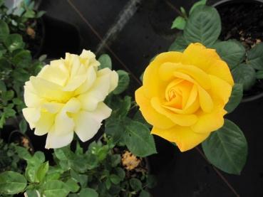 Beetrose Rosa Rumba® gelborange Duft+