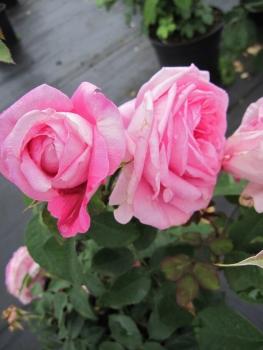 englische rosen online g nstig bestellen direkt aus der baumschule kaufen seite 3 www. Black Bedroom Furniture Sets. Home Design Ideas