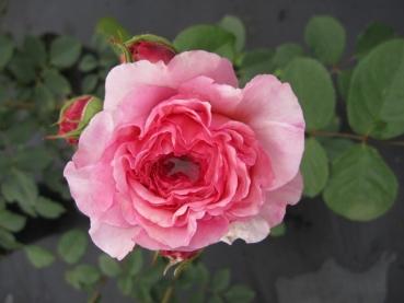 englische rosen online g nstig bestellen direkt aus der baumschule kaufen seite 4 www. Black Bedroom Furniture Sets. Home Design Ideas