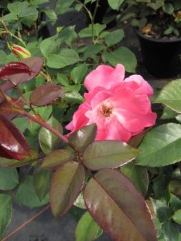strauchrose rosa romanze rosa duft 50cm diese. Black Bedroom Furniture Sets. Home Design Ideas