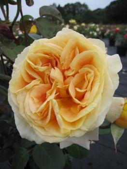 edelrose rosa candlelight nostalgierose goldgelb duft 40cm diese edelrose bestellen sie. Black Bedroom Furniture Sets. Home Design Ideas