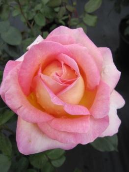 edelrose rosa elle teehybride duftrose der provende gelb lachsrosa duft 40cm diese. Black Bedroom Furniture Sets. Home Design Ideas