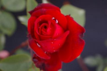 edelrose rosa ruby wedding teehybride moderne rose rubinrot duft 40cm diese edelrose. Black Bedroom Furniture Sets. Home Design Ideas