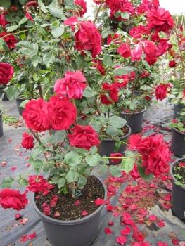 solit rrose rosa mushimara kletterrose leuchtend rot duft. Black Bedroom Furniture Sets. Home Design Ideas
