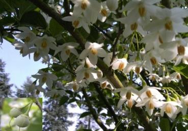 Styrax japonicus japanischer storaxbaum japanischer for Japanischer ziergarten