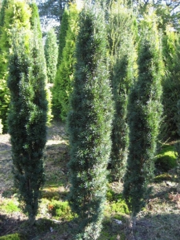 taxus bac fastigiata robusta gruene saeuleneibe. Black Bedroom Furniture Sets. Home Design Ideas