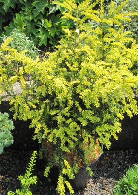 25 30 Www Bing Comhella O: Taxus Baccata Adpressa Aurea