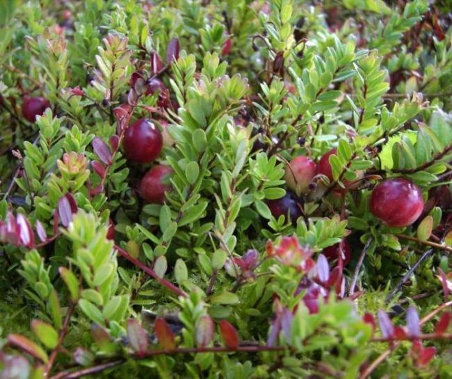 Außergewöhnlich Vaccinium macrocarpon Pilgrim - Großfrüchtige Moosbeere -Cranberry #GT_55